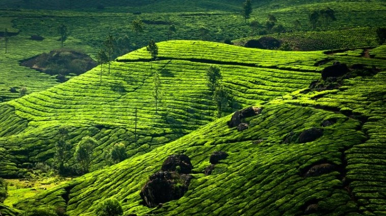8137067-tea-plantation-landscape-munnar-kerala-india-nature-background